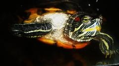 turtle (JoyceCorey) Tags: hongkongphotos whatmakesyouhappy elitesharingpool flickrballoonaward  artisticperspectives theartistsmuseum coolhairlikemyidolwarhol theweirdandthespectacular