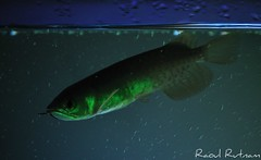 My Red Tail Golden (Raoul Rutnam) Tags: red fish aquarium golden tail rtg arowana