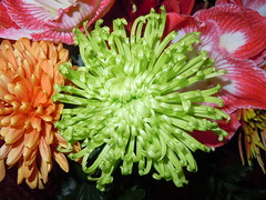 Chrysanthenum ... green ... [on Explore Nov 3] ... (RenateEurope) Tags: family flowers red green interestingness flora nikon explore coolpix bouquet flowerthursday asteraceae multicolor orang 2011 chrysanthemen s8000 greenbeautyforlife