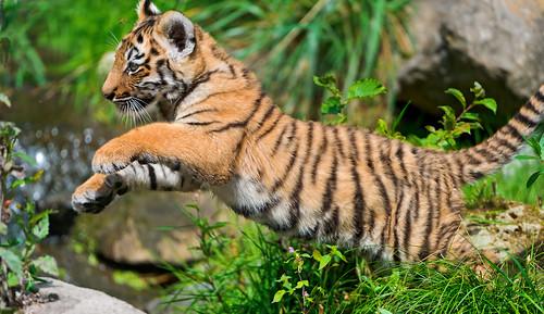 無料写真素材, 動物 , 虎・トラ, 跳ぶ・ジャンプ