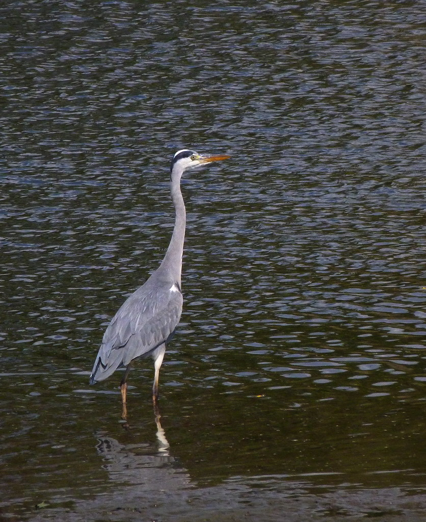 03-11-2011-grey-heron-again
