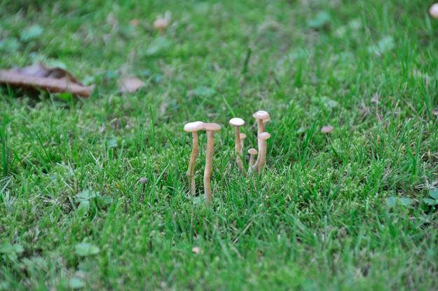 mushrooms-on-lawn