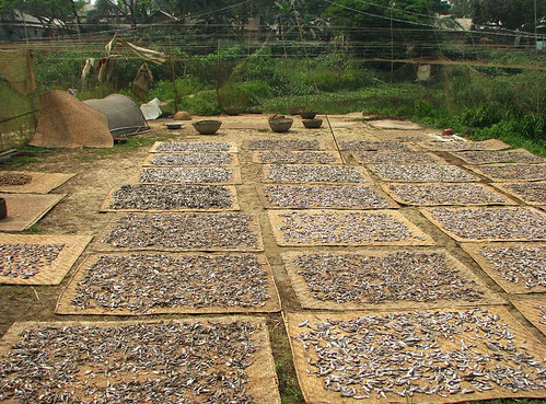 Traditional fish drying in haor area, Sunamganj, Bangladesh. Photo by Balaram Mahalder, 2008