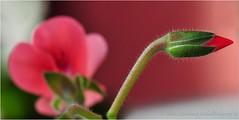 November Bud (nikkorglass) Tags: november red flower macro home beautiful closeup garden season nikon sweden bokeh micro blomma sverige bud nikkor geranium f28 vr hemma trädgård pelargonium röd d300 knopp närbild 2011 vacker pelargon 105mmvr säsong nikkorglass