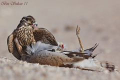 Peregrine Falcon attacks Houbara Bustard () Tags: