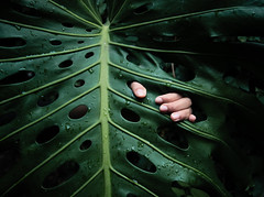 handling a giant leaf (notarim) Tags: france green nature rain horizontal closeup leaf drops model riviera hand outdoor fingers highcontrast getty araceae lowkey chiaroscuro vignette oneperson gettyimages 43 gripping philodendron clairobscur frenchriviera roquebrunecapmartin leafvein colorimage onewomanonly nervure alismatales 111110 aroideae notarim handlingagiantleaf