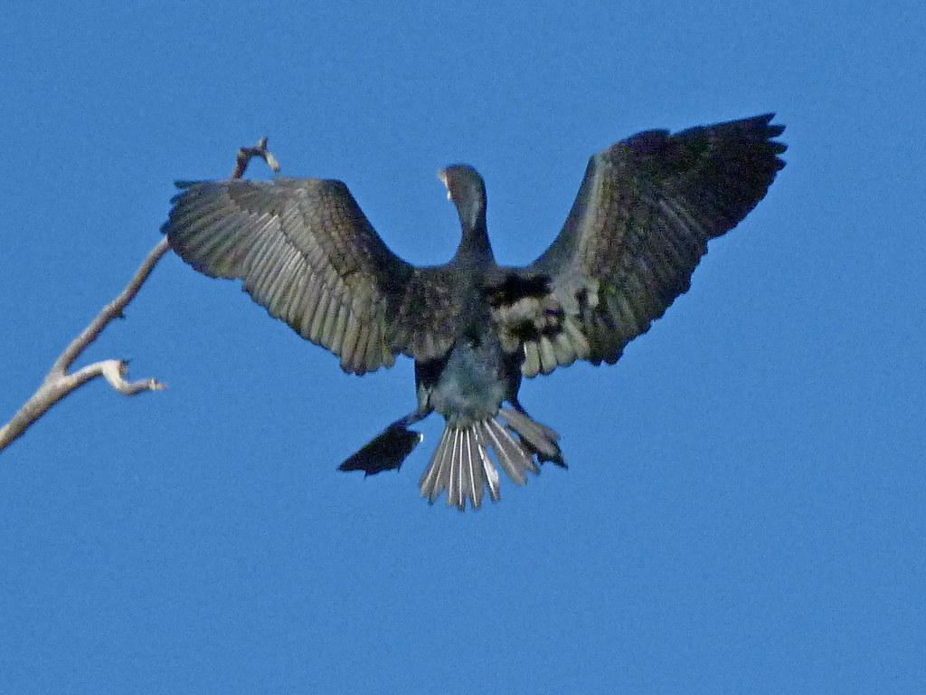 07-11-2011-cormorant