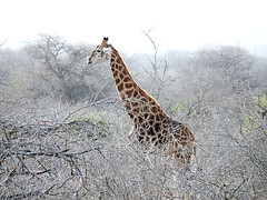 Kruger National Park (Globetreka) Tags: africa southafrica giraffes animalplanet krugernationalpark wildanimals musictomyeyes allwelcome animalloversonly flickraward worldtrekker mygearandme mygearandmepremium mygearandmebronze mygearandmesilver awesomanimals