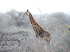 Kruger National Park (Globetreka) Tags: africa southafrica giraffes animalplanet krugernationalpark wildanimals musictomyeyes allwelcome animalloversonly flickraward worldtrekker mygearandme mygearandmepremium mygearandmebronze mygearandmesilver awesomanimals