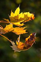 """The falling leaves ... (Armin Hofen) Tags: autumn red fall leaves gold herbst blatt bltter"