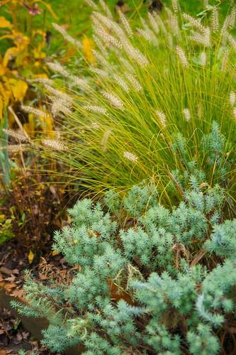 pennisetum hameln and euphorbia  992
