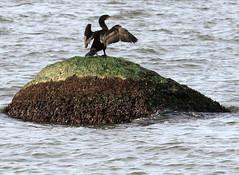 Double-crested Cormorant (sandy richard) Tags: longisland beaches wildwood wildwoodstatepark sandyrichard sandrarichard