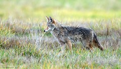 The Hunt (Garebear400) Tags: coyote wild nature wet animal canine nwr ridgefield thewildlife