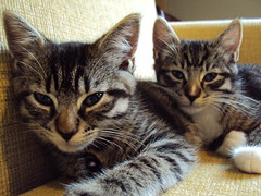 Magnets & James (thecraftinista) Tags: cute cat babies tabby kittens kitties kittehs
