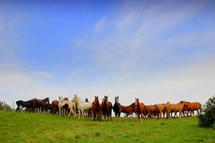 Vises do Pampa (Eduardo Amorim) Tags: brazil horses horse southamerica field brasil criollo caballo cheval caballos mare campo cavalos pelotas pferde cavalli cavallo cavalo pferd riograndedosul pampa champ yara hest hevonen campanha brsil chevaux gua  yegua amricadosul paniolo hst  amriquedusud   sudamrica suramrica amricadelsur  sdamerika crioulo caballoscriollos criollos   costadoce americadelsud  crioulos cavalocrioulo americameridionale caballocriollo auffangen eduardoamorim cavaloscrioulos iayayam yamaiay