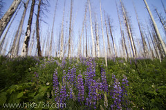 "Lupine in the burned forest • <a style=""font-size:0.8em;"" href=""http://www.flickr.com/photos/63501323@N07/6420001209/"" target=""_blank"">View on Flickr</a>"