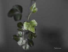 Little leaves (Soloross) Tags: black verde leaves foglie canon 50mm grigio foto little ombra 1001nights viva luce vaso feelings pianta scatto sfocato edera fotografare