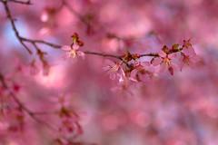 (lemank) Tags: cherryblossoms beacon floweringtrees triptonystate diabeaconwestgarden