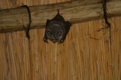 Sundevall's Leaf-nosed Bat, Nkulu, KNP, Feb 2009 (roelofvdb) Tags: knp lowersabie bat53