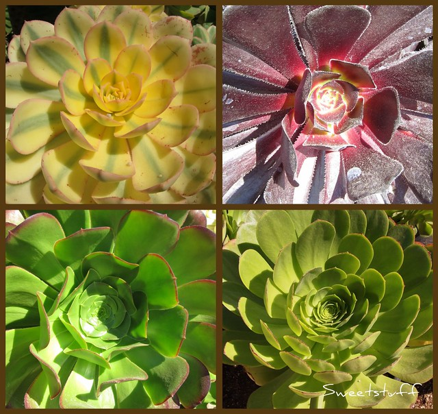 Aeonium collage