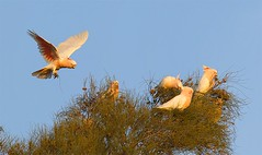 Skipping on Air (Callocephalon Photography) Tags: pink bird feeding flock flight parrot australia sa cockatoo bif casuarina gluepot pinkcockatoo majormitchellscockatoo lophochroaleadbeateri