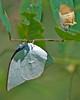 Angled Sunbeam Fresh Out Of Chrysalis (aeschylus18917) Tags: macro nature japan butterfly insect nikon g lepidoptera micro newborn 日本 hatch nikkor chrysalis nagano sunbeam f28 vr angled pxt naganoprefecture 105mm insecta azumino lycaenidae 105mmf28 naganoken チョウ 長野県 105mmf28gvrmicro azuminoshi d700 nikkor105mmf28gvrmicro 安曇野市 ダニエル nikond700 curetis ウラギンシジミ danielruyle aeschylus18917 danruyle druyle curetisacuta ルール ダニエルルール angledsunbeam