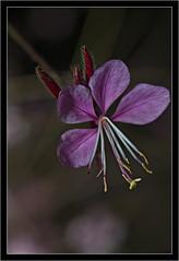pink makro (manolo guijarro) Tags: pink flower macro nikon flor rosa manolo makro 105mm guijarro nikkormicro105mmf28 d700