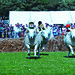 Sheep races