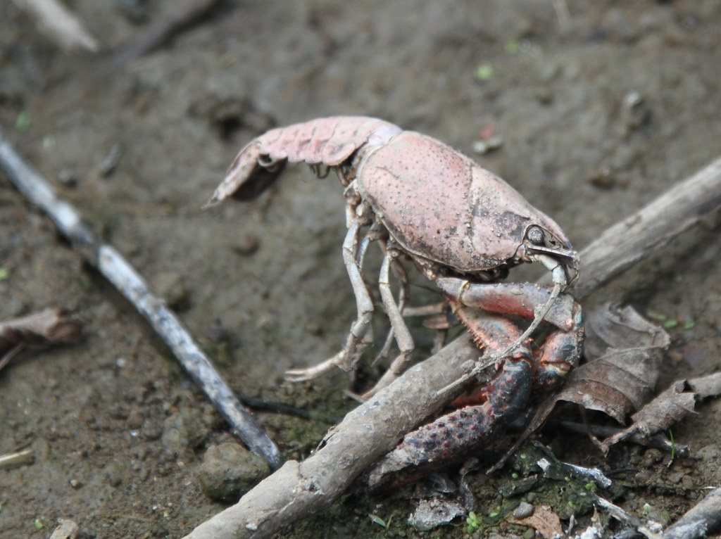 a dead crawfish in the remains of bayou bristow