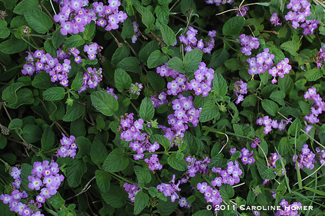 Non-native trailing purple lantana