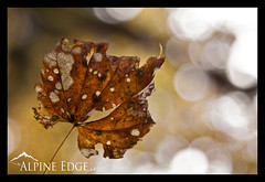 Autumn Is Here (AlpineEdge) Tags: autumn light orange brown tree fall texture yellow death leaf oneleaf october focus pattern dof bokeh decay holes falling growth mapleleaf material veins organic compost dying vinemaple 2011 returntotheearth