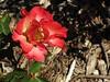 ,IMG_1170 (Eli Nixon) Tags: park flowers autumn roses usa closeup colorado longmont rosegardens iso80 municipalgardens elinixon morningdrivewithgrover canons90 rooseveltparkrosegardens
