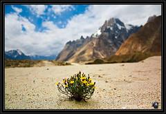 Desert life on Glacier (Najmul Hassan) Tags: world pakistan trek 1 k2 hassan explorers jula trekker gor karakorum skardu askole paiju baltoro najmul urdukas concordians biango liligo najamkke kuburse 2concordia