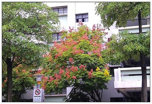20111023欒樹