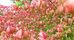 P1040793 - Arbeitskopie 2 (focus.finder) Tags: pink rot tiere laub herbst jahreszeit natur pflanze rosa spinne makro blatt strauch nahaufnahme busch netz spinnennetz botanik herbstlich grün blätter