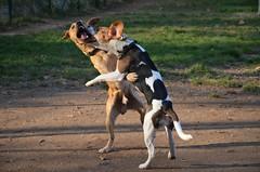 Sun [this is love] (alfio.biz) Tags: dog sun beagle dogs cane puppy puppies nikon explore 5100 nikkor beagles cucciolo cani cuccioli d5100