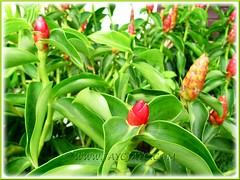 Costus woodsonii (Red Button Ginger, Scarlet Spiral Flag, Red Cane, Panamanian Candle Ginger)