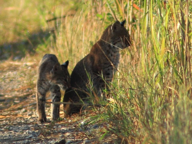 Bobcat cub and adult 2-20111103