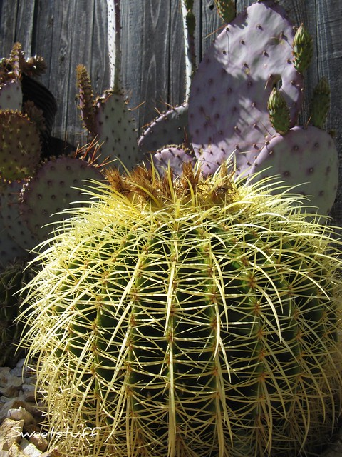 Golden barrel and Santa Rita opuntia