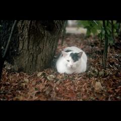 cat # 353 (alleys) Tags: leica film animals cat 50mm portra summar