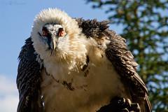 Barbarossa (Cloudtail) Tags: bird vogel burg guttenberg geier greifvogel bartgeier greifenwarte