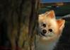 DSC_0744 (zoo2292) Tags: bear dog puppy peekaboo doggy pomeranian pompom