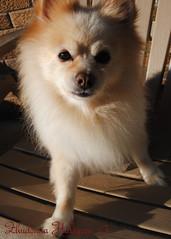 DSC_0682 (zoo2292) Tags: bear dog puppy doggy pomeranian pompom