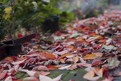 (burningphoenix) Tags: autumn leaves autumncolours autumncolors sakura sakuraleaves