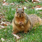 Squirrels at the University of Michigan in Autumn thumbnail