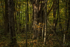 Enchanted (ShadowCatcher Gallery) Tags: indiana enchantedforest burroak thenatureconservancy ancientforest canon7d shraderweaverwoods shraderweavernaturepreserve 200yearoldoak