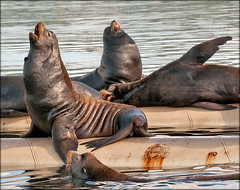 Marine Quartet (TT_MAC) Tags: nature wildlife sealion marinemammals californiasealion pinniped zalophuscalifornianus fannybaybc