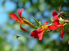 Em busca da refeição (IgorCamacho) Tags: flowers flores flower primavera colors cores spring bokeh flor bee abelha colourful colorido