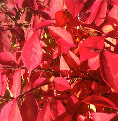 Scarlet Leaves (Burning Bush) by randubnick