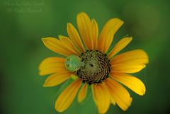 My Flower! (Lerxst Ohio) Tags: flower green nature colors yellow bug insect nikon bokeh macrolens coxarboretum montgomerycounty d80 sigma50mmf28 45449 nikond80 fiveriversmetroparks miamitownship coxarb hollyannsmith photobyhollyannsmith
